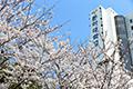 승학캠퍼스 벚꽃